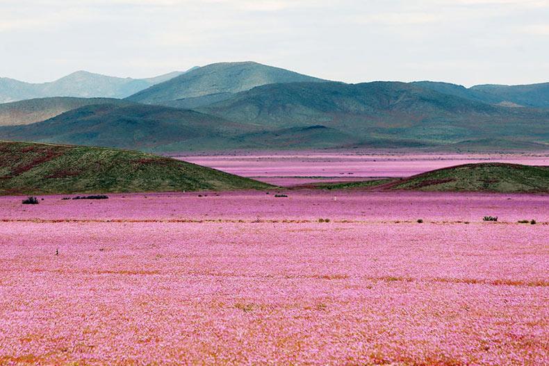Lluvia convierte el desierto más seco de la Tierra en un paraíso rosado