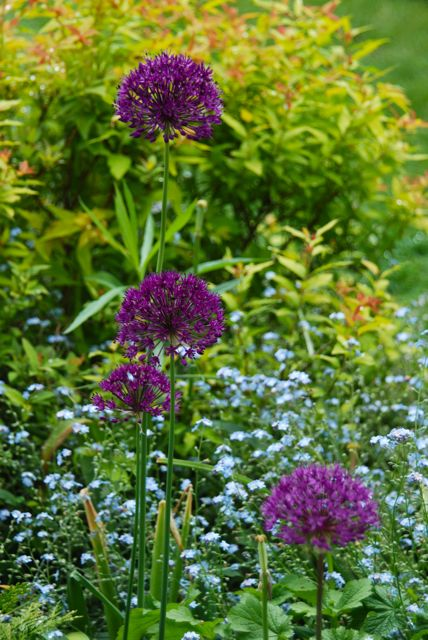 Allium 'Purple Sensation' contrasting with Spirea 'Goldflame' and blue forget-me-nots in the Front Walk. This succession follows from the orange and purple tulips last month.