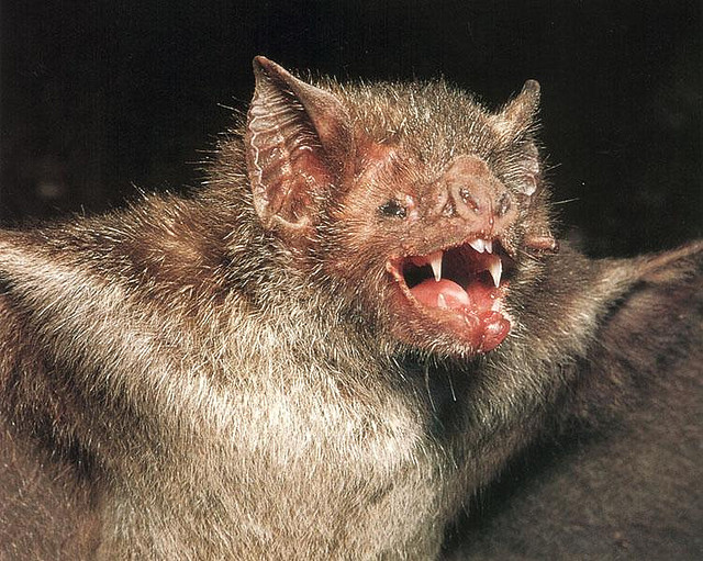 Real monstrosities common vampire bat - Chauve souri vampire ...
