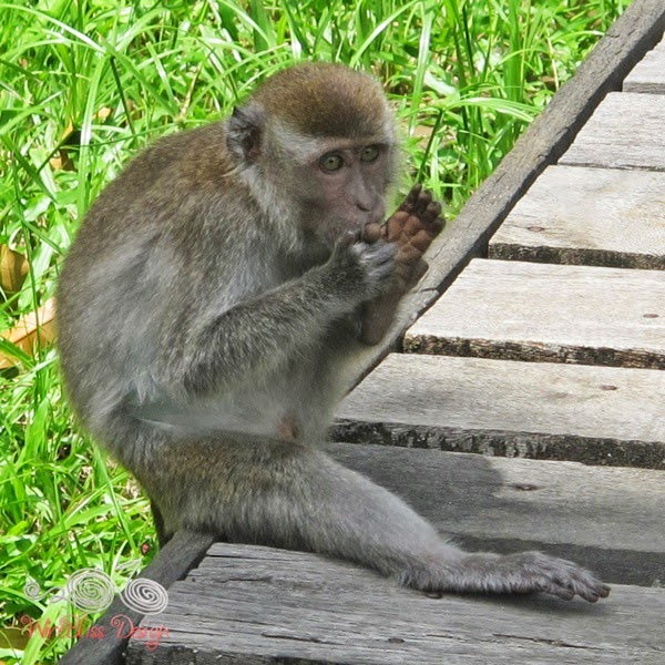 Bako National Park - Monkey- WireBliss