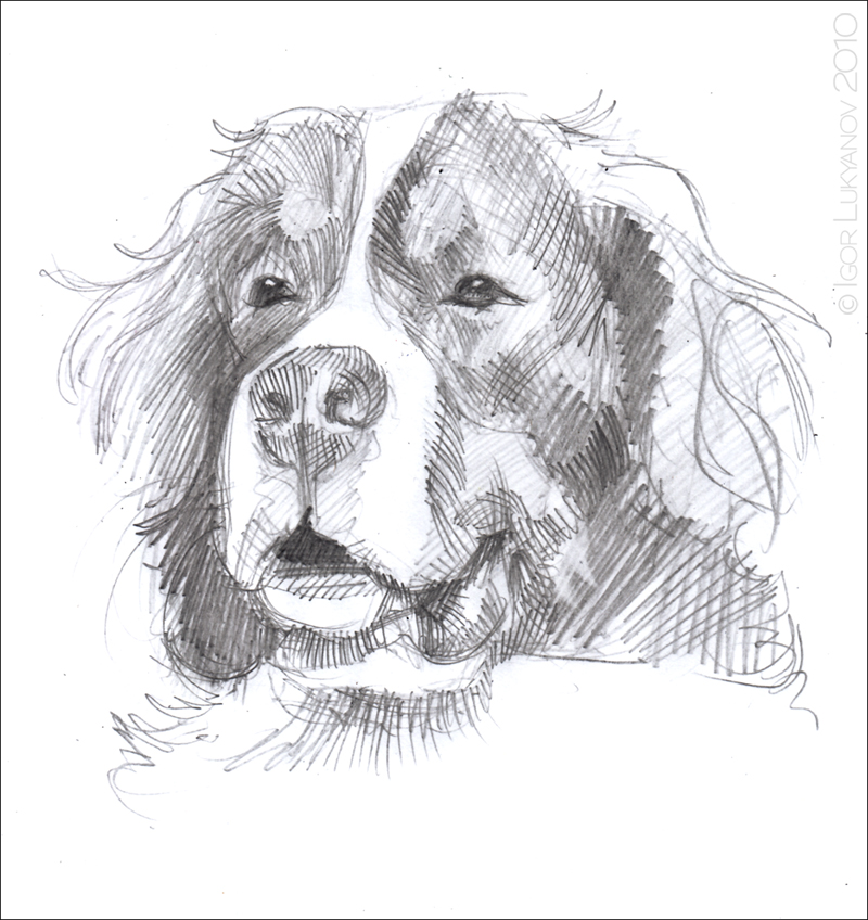 Bernese Mountain Dog Sketch