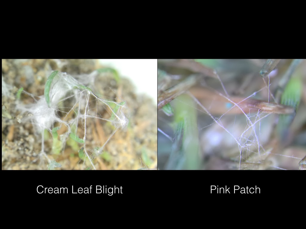 """Mycelium twisting into """"ropes"""" for both cream leaf blight and pink patch (25x)"""