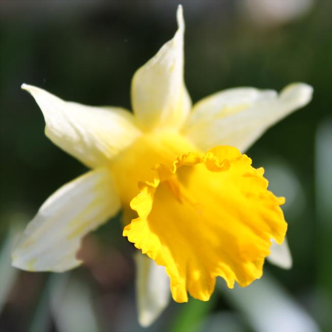 Narcisse jaune - Narcissus pseudonarcissus - http://spicerabbits.blogspot.fr/