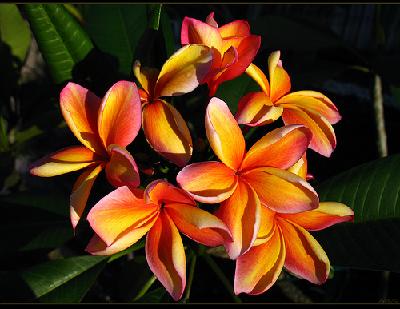 Plumeria Makaha Sunn Hawaiian Flowers