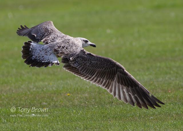 1st Winter, Gulls, Flight, Wanstead, michahellis