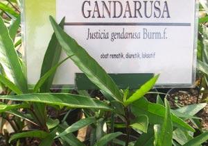 Bahan Pil KB untuk Pria dari Tumbuhan Gandarusa Asal Papua