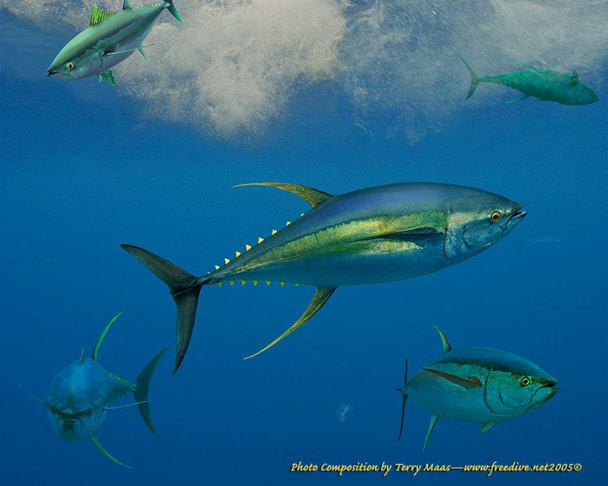Happy hootenanny y is for yellowfin tuna for Fishing for tuna