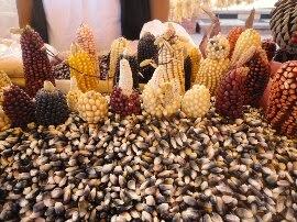 Diversidad de maíz