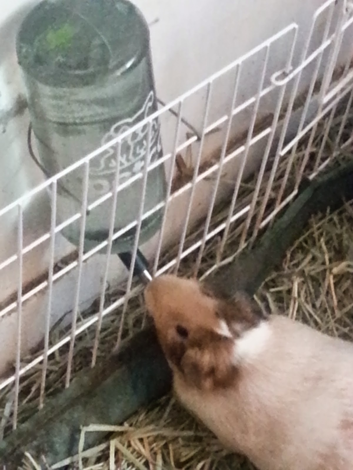 What Can Guinea Pigs Drink Out Of