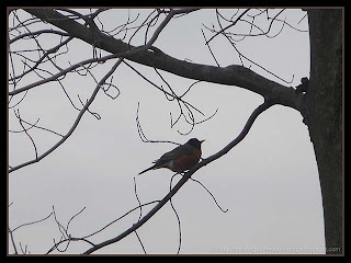 robin in maple tree