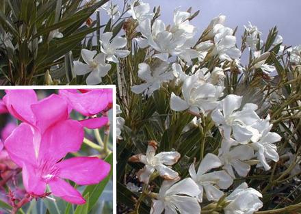 nerium+oleander