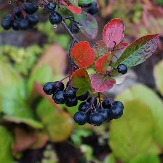 owoc aronia
