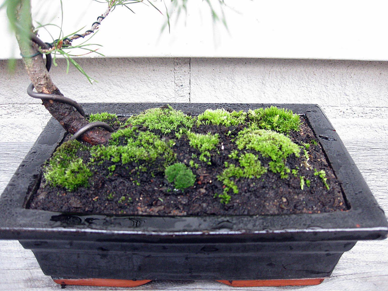 Onshore My Bonsai Pine