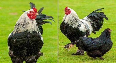 Ayam Ini Semakin Tinggi Karena Makan Popcorn