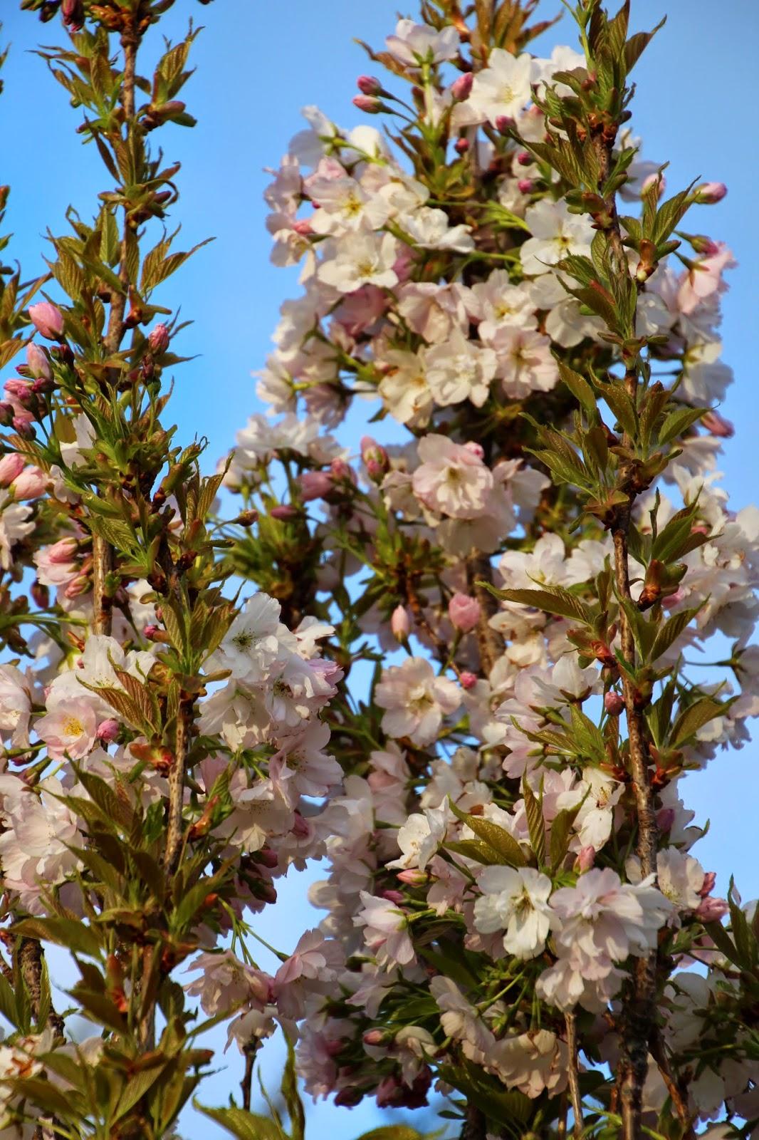 Pelarkörsbär Prunus serulata 'Amanogawa'