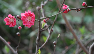 hoa đào mừng xuân