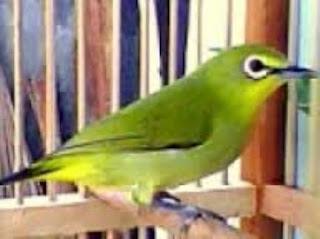 Cara Menjinakan burung pleci bakalan