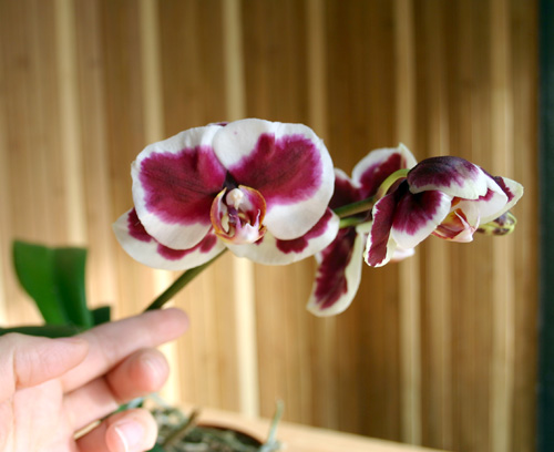 Orchid Blooming: Tips and Tricks   OrchidsMadeEasy.com