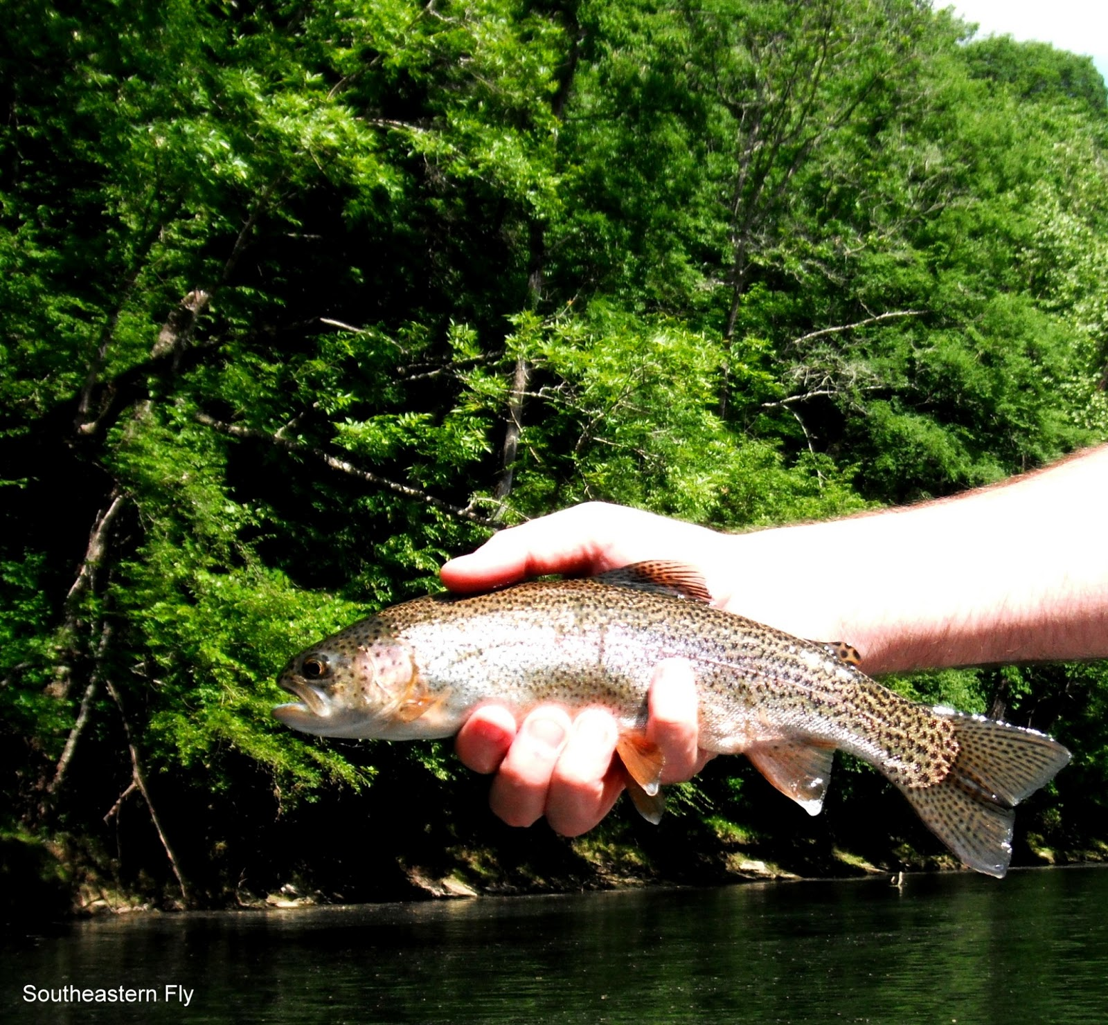 Southeastern fly middle tennessee fly fishing for Tennessee trout fishing