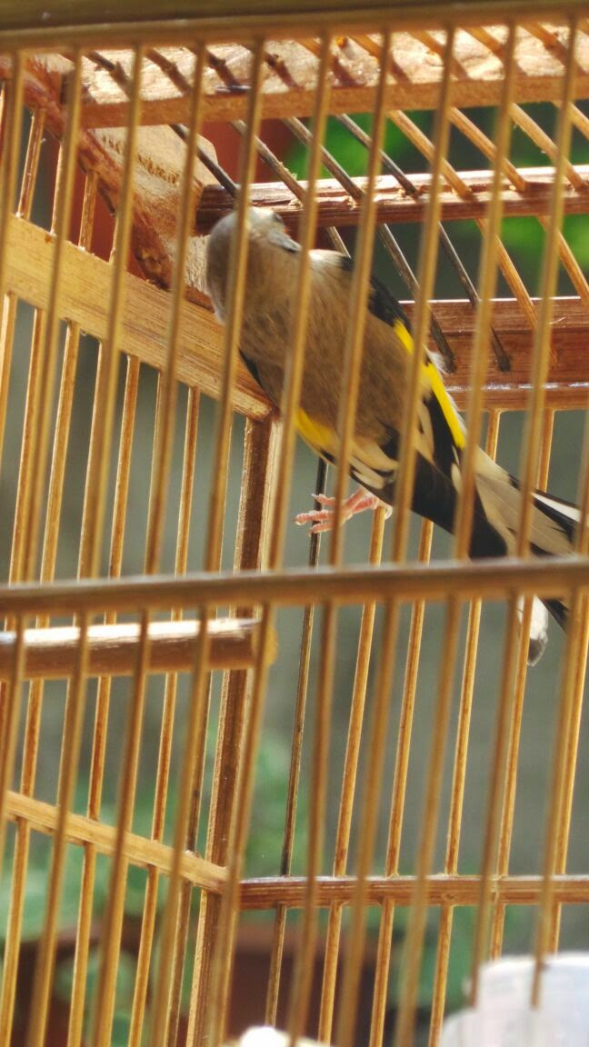 burung goldfinch asli burung gold buung finch himalaya barang bekas