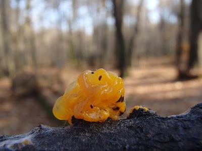 Trzęsak pomarańczowożółty Tremella mesenterica