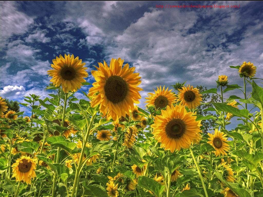 beautiful collection of sunflowers wallpapers hd free for