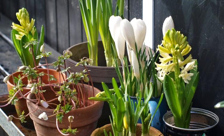 Forårsbebudere  stillet sammen skaber forår i haven i februar