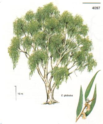 El eucalipto hierbas y plantas - Informacion sobre el eucalipto ...
