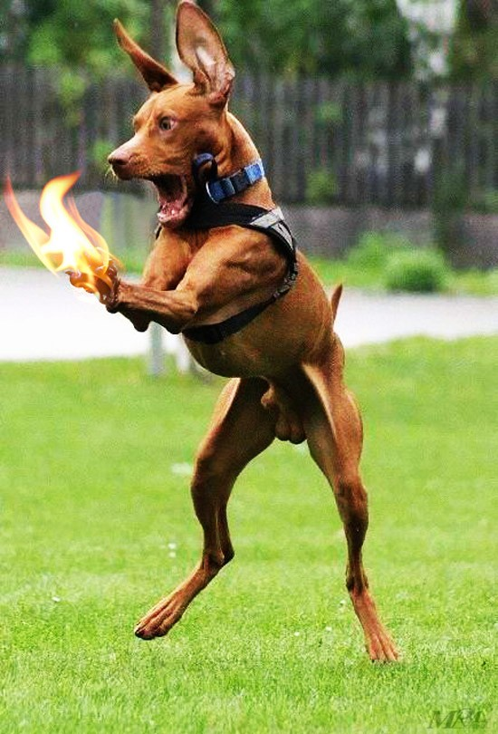 Funny Dog Caught itself on fire : Holly Crap !!! - Dog