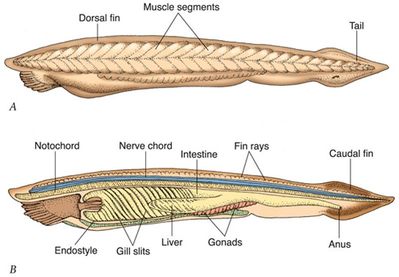 Anatomy Of Amphioxus