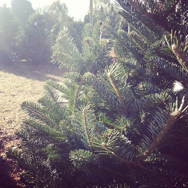 searching for the perfect Christmas pine tree