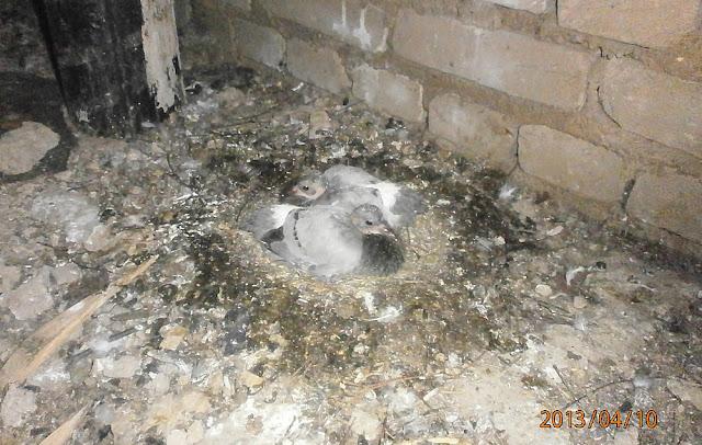 Птенцы голубя на гнезде фото