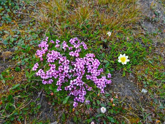Arctic flora and fauna. Moss campion Silene acaulis
