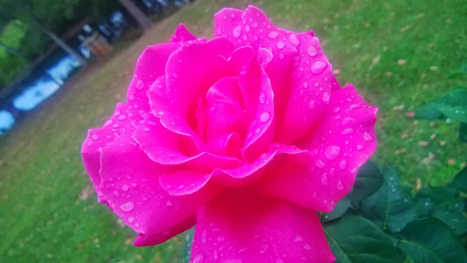 gardening in retirement hybrid tea rose perfume delight