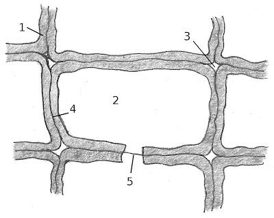 Tekening met de celwanden van hout