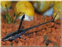 Twig Catfish Pictures
