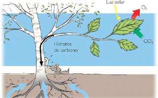 Qué es la fotosíntesis