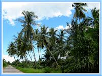 Coconut and oil palm plantations, Tanjong Karang, Selangor, Malaysia