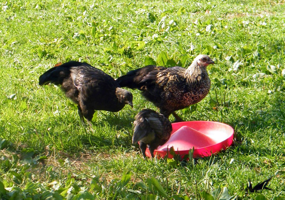 Natural chicken keeping broody hens nature 39 s incubators for Can ducks and chickens share a coop