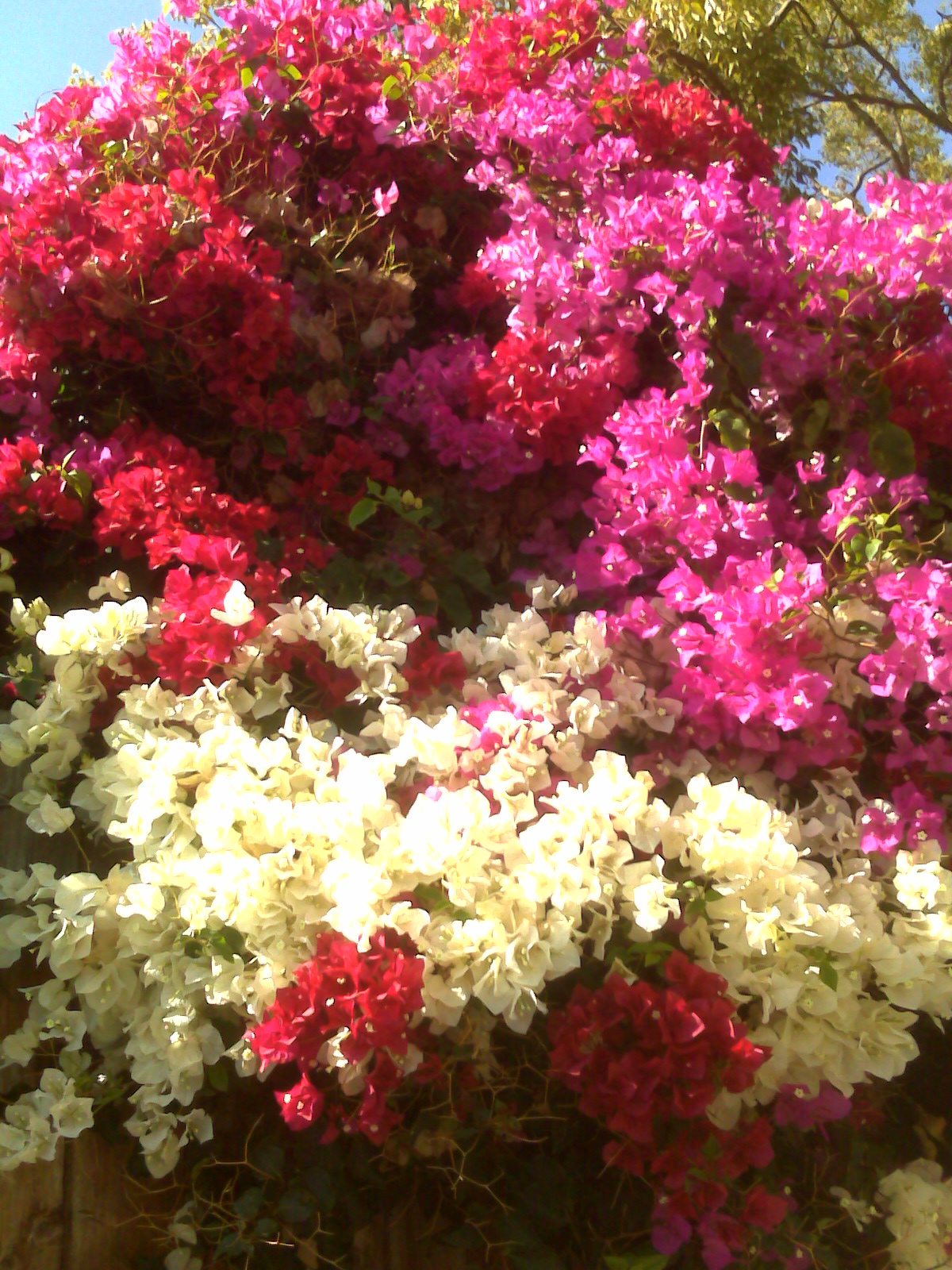 how to get bougainvillea to flower