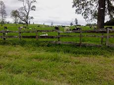Vacas en el Potrero.