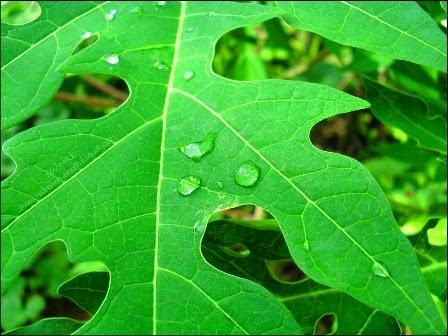 manfaat pepaya, manfaat daun pepaya, tips sehat cara herbal, khasiat daun pepaya, obat alami daun pepaya, manfaat buah pepaya, manfaat pepaya untuk kesehatan