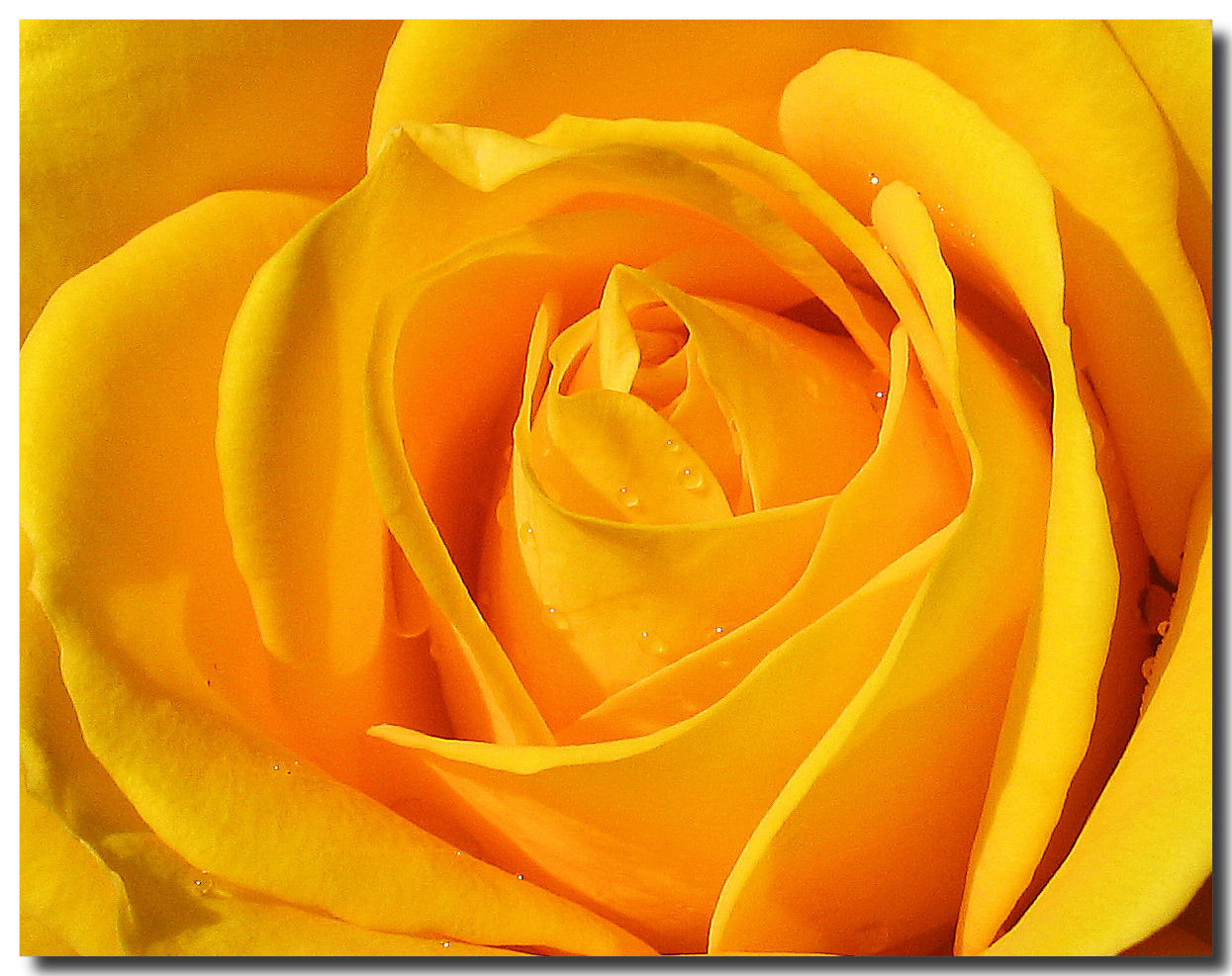 wallpaper of yellow roses - photo #11