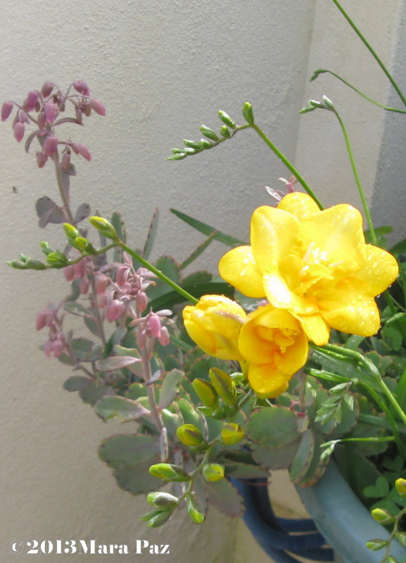 Succulent and freesia