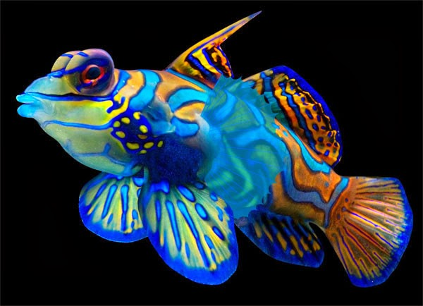 Amazing color the mandarin fish exotic freshwater and for Small tropical fish