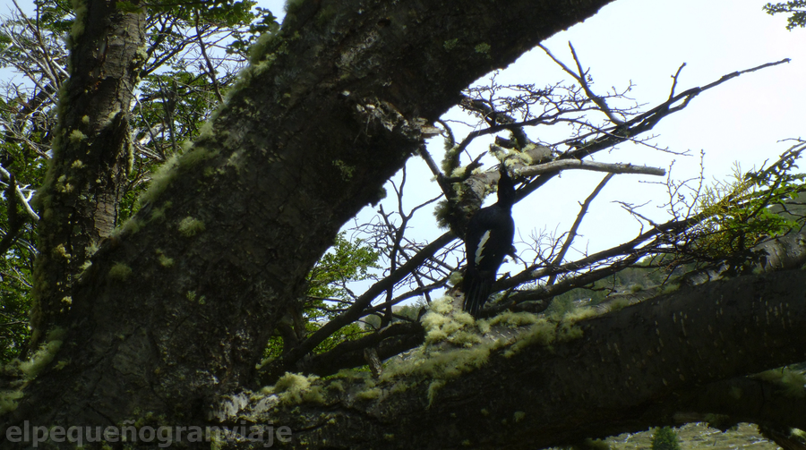 Pájaro Carpintero, Parque Nacional Torres del Paine, Chile