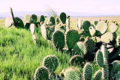 Nopales silvestres con muchas espinas en las planicies secas y áridas del Estado de Puebla, México.