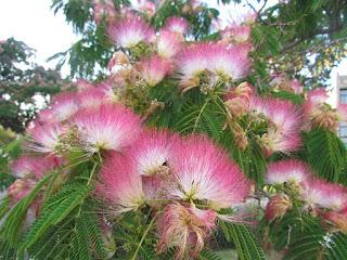 פרחי אלוויציה ורודה