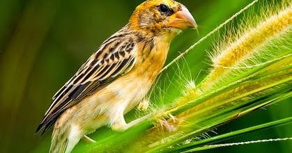 cara merawat burung manyar cepat gacor gembala news