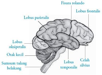 Bagian otak depan manusia